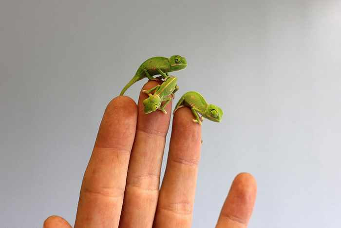 New veiled chameleons have hatched at Taronga Zoo in Sydney -02